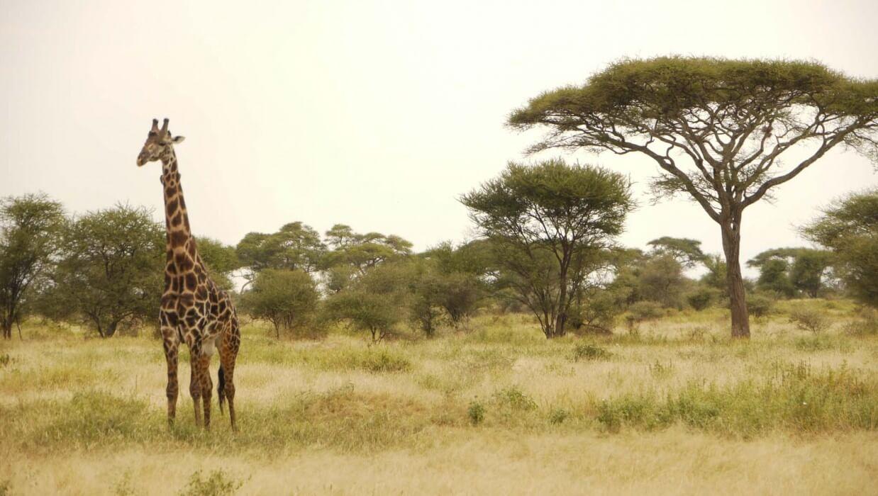 lone giraffe in the african safari